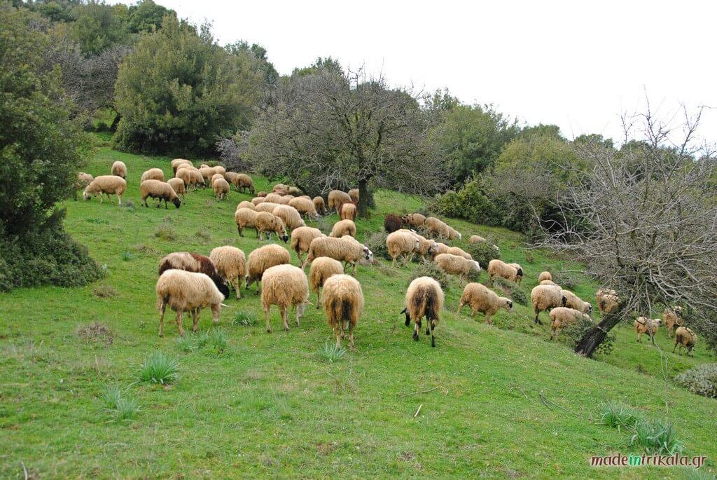 Πρόβατα στη Νότια Πίνδο