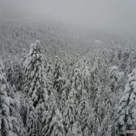 Ελάτη, Περτούλι, έλατα χιονισμένα