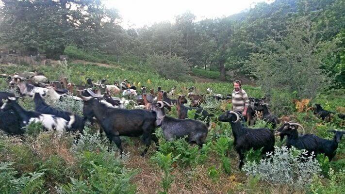Κόρη Τρικάλων, κτηνοτρόφος και το κοπάδι του