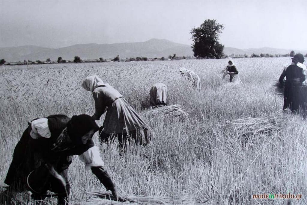 Συγκομιδή σιταριού στα Τρίκαλα, ασπρόμαυρη φωτογραφία